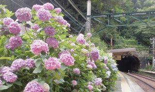箱根のアジサイ(紫陽花)in 2016