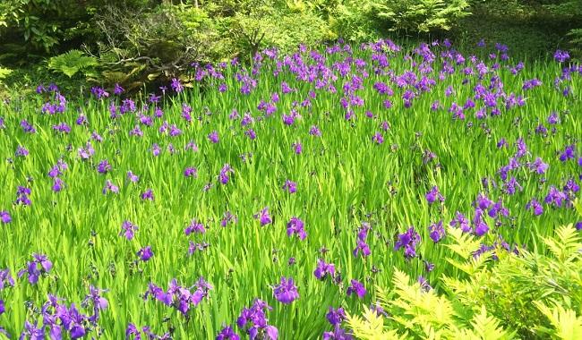 カキツバタのある庭園  …根津美術館より