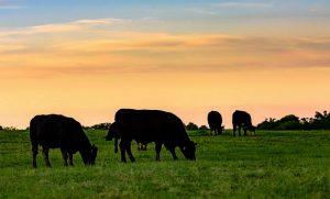 夕焼けの空に牛